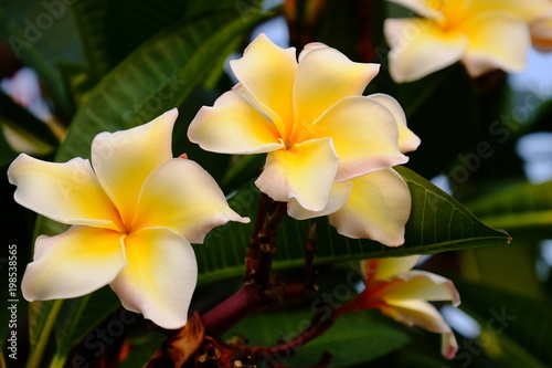 Aluminium Plumeria Colorful flowers.Group of flower.group of yellow white and pink flowers (Frangipani, Plumeria) Pink,White and yellow frangipani flowers with leaves in background. Plumeria flower blooming .