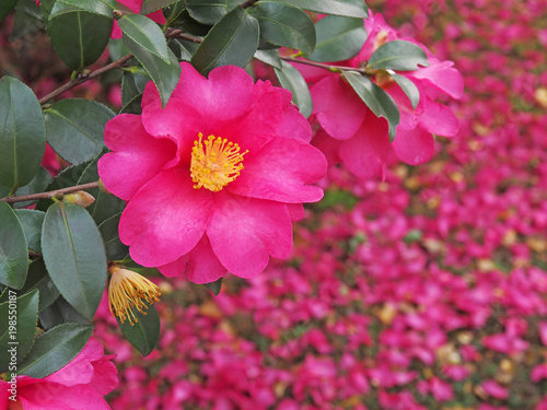 Foto op Plexiglas Roze Red camellia(camellia japonica) flower blooming in the garden