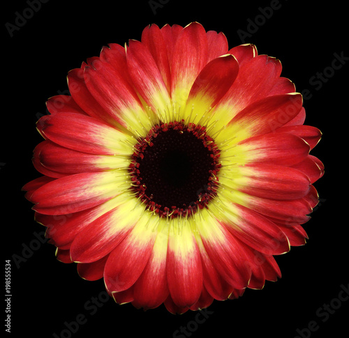 Fotobehang Gerbera Red-yellow gerbera flower black isolated background with clipping path. Closeup. no shadows. For design. Nature.