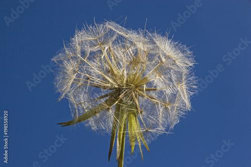 Fotobehang Paardenbloemen Pusteblume vor blauem Himmel