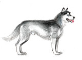 Ink and watercolor illustration of a standing husky dog