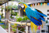 beautiful parrot is eating bird food in the farm. blue macaw selective focus.