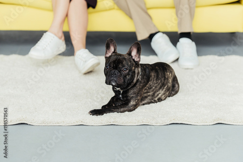 Frenchie dog resting on the floor by his owners - 198570563