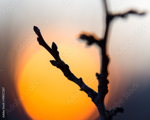 Tree branch with buds on sunset background - 198572167
