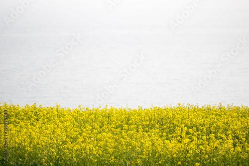 Fotobehang Meloen Beautiful Rape flowers in spring time