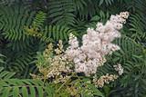 False spiraea (Sorbaria sorbifolia). Known also as Ural False Spiraea, False Goat's beard, Sorb-leaved Schizonotus and Mountain Ash Spirea. - 198583572