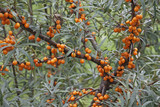 Common see buckthorn (Hippophae rhamnoides). Known also as Seaberry. - 198584149