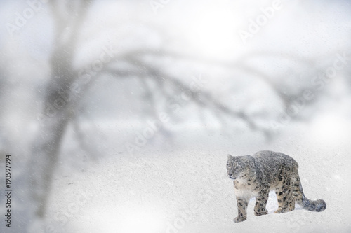 Wild Snow Leopard In Snow Storm Poster