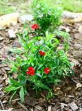 œillet de poète,plante dans massif de jardin