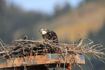 Osprey  in Teton National Park