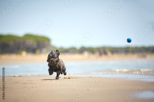Back havanese dog playing with blue ball on the beach