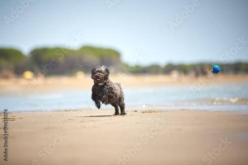 Tylny hawańczyk pies bawić się z błękitną piłką na plaży