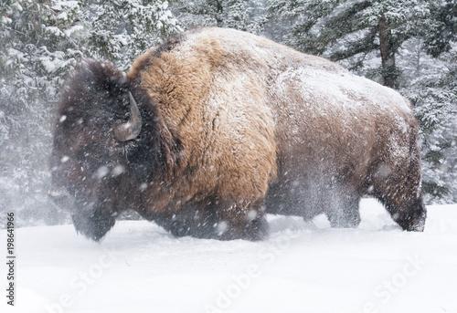 Aluminium Bison Bison shaking head in knee deep snow