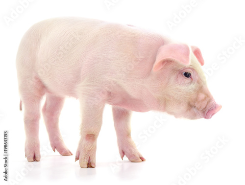 Pig on white - 198643193