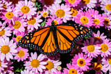 Monarch butterfly resting on a bed of bright pink flowers in Arizona's Sonoran Desert.