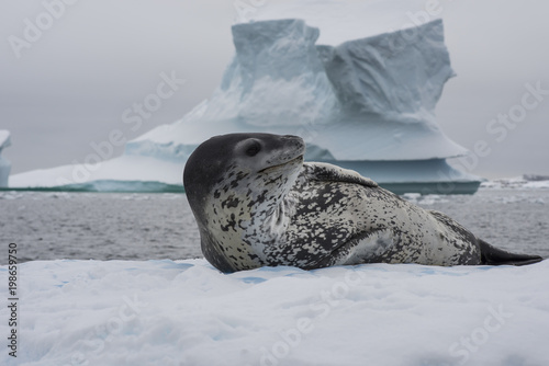 Fototapeta Leopard seal on an ice flow