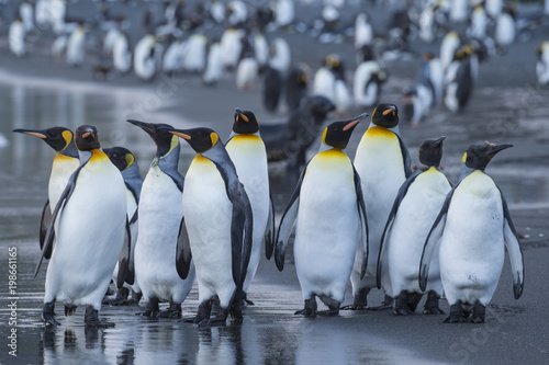 Fotobehang Pinguin King Penguins colony Gold Harbour
