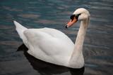 Swimming swan portrait - 198665581