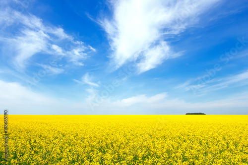 Plexiglas Geel Yellow rapeseed flowers on field with blue sky and clouds. Russia. Beautiful summer landscape.