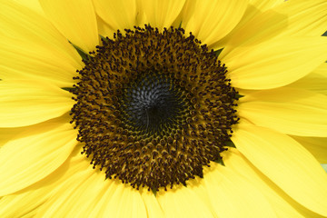 Zoomed right into this sunflower to see it up close to show the details