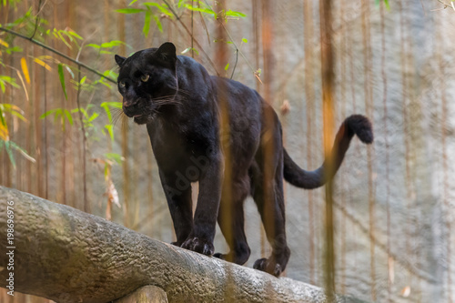 Plexiglas Panter A black panther is the melanistic color variant of any big cat species. Black panthers in Asia and Africa are leopards and those in the Americas are black jaguars.