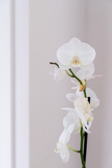White orchid branch on pastel clear background