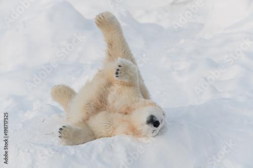 Fotobehang Ijsbeer White bear sleeping on it's back in funny pose