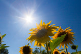 Sunflowers and the bright sun on a summer day. Field of blooming sunflowers on a background blue sky.