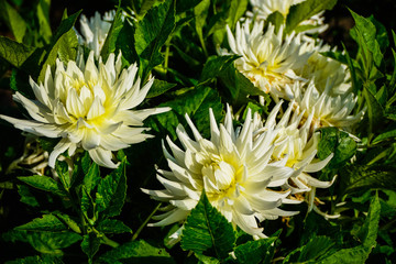 white dahlias closeup on green leaves background
