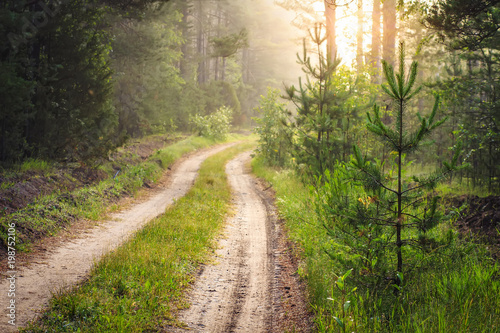 Forest road at sunrise. Forest landscape with small pine trees and fir trees along path. Morning forest with bright sunlight at dawn. Green woodland. Scenery natural nature.