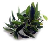 Salvia officinalis - 198771933