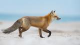 Red Fox - 198790387