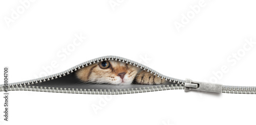 Fotobehang Kat cat with zipper hole isolated on white