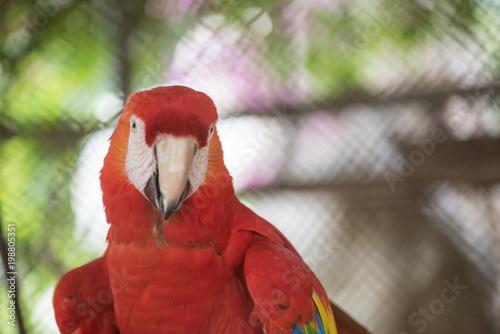 Plexiglas Papegaai Portrait of colorful Scarlet Macaw parrot