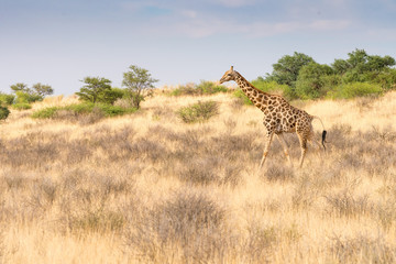 eine Giraffe schreitet durch die Savanne im Kalahari Transfrontier Park, Südafrika