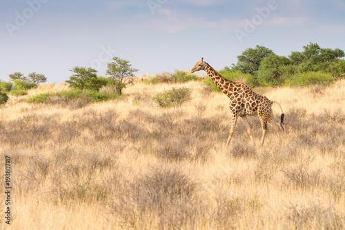 eine Giraffe schreitet durch die Savanne im Kalahari Transfrontier Park, Südafri Poster