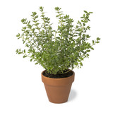 Brown terra cotta pot with fresh Oregano - 198823303