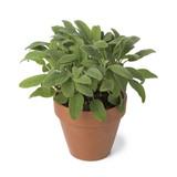 Brown terra cotta pot with fresh sage - 198823306