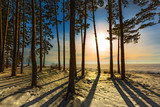 Pine trees in the sunset. Western Siberia, Russia
