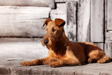 Irish Terrier lies on the porch of an old wooden house.