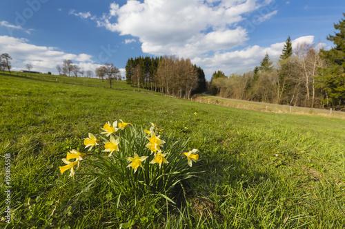 Żonkile I łąki w Eifel, Niemcy