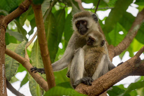 Baby vervet monkey and mother on branch