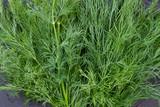 Fresh organic dill background. Close up fresh green organic dill. Benefits of greens. - 198865532