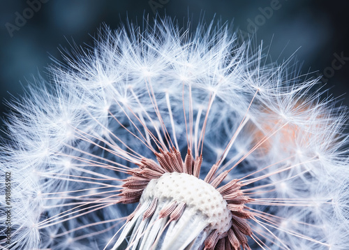 Fotobehang Paardenbloemen beautiful natural background of airy light dandelion flower with white light seeds on plant head