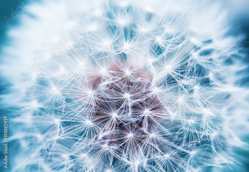 beautiful natural background of airy light dandelion flower with white light seeds - 198865939