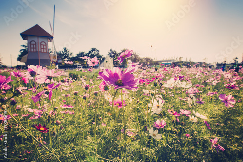 field cosmos flowre and sunset with vintage tone. - 198866195