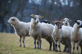 a sheep herd on a meadow (breed - valaska) - 198875572