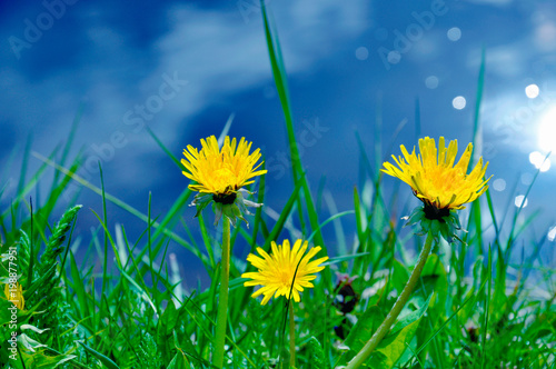 Dandelion in the grass on the riverbank - 198877951
