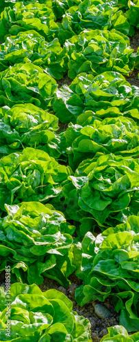 Fotobehang Groene Salatfeld auf der Farm