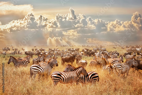 African wild zebras and wildebeest in the African savanna against a background of cumulus thunderclouds and the setting sun. Wild nature of Tanzania. Artistic natural image.